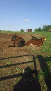 Calves-in-sunshine
