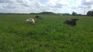 cows-in-grass